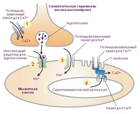 в нейромышечном синапсе.