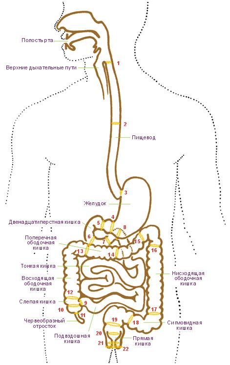 пищеварительного тракта и