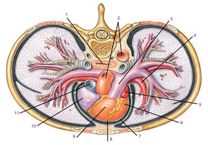 Сердце. системы кровообращения. кровь. сердце расположено в грудной полости асимметрично.  В. норме. в. Схема.