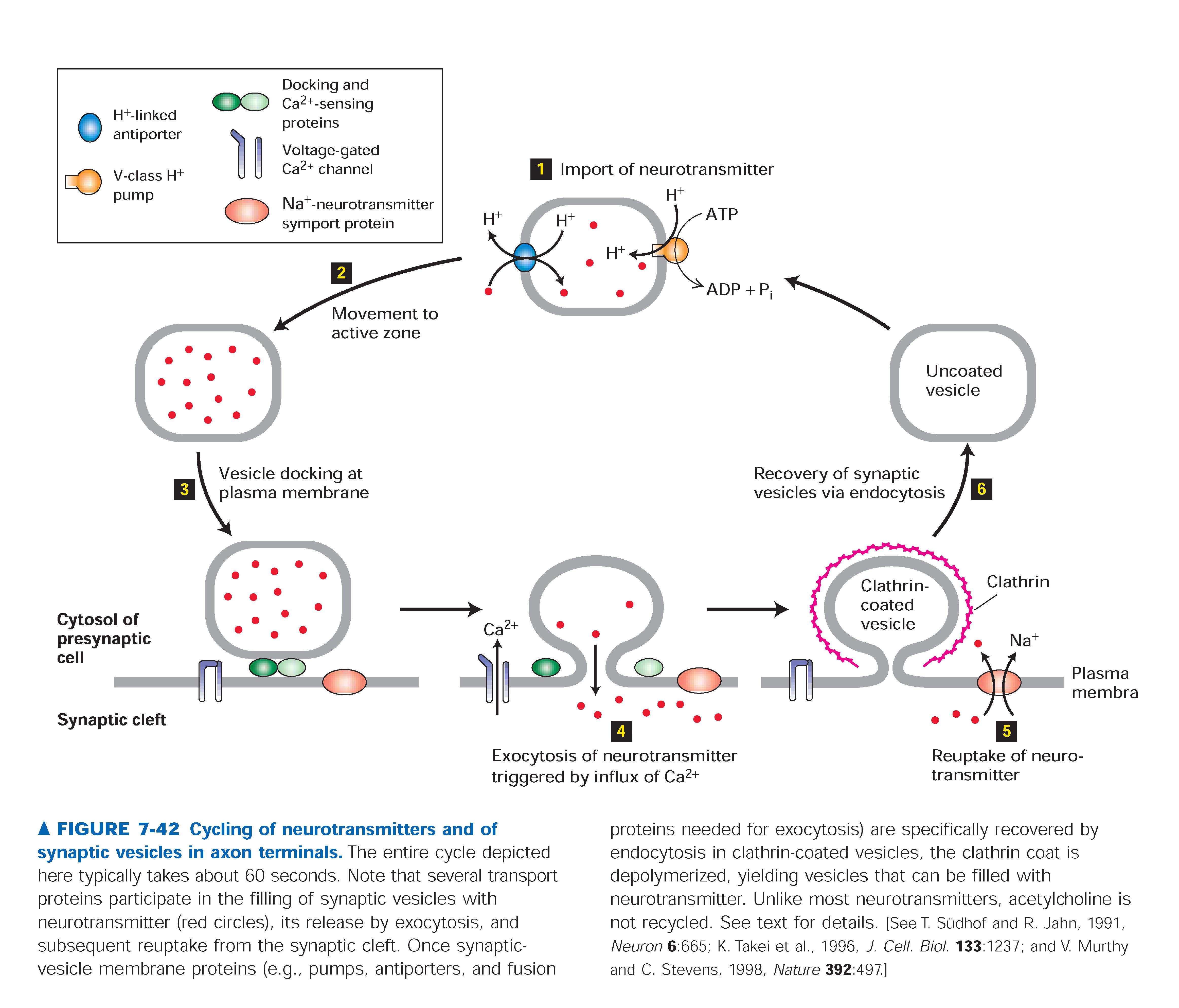 worksheet Neurotransmitters Worksheet biology pictures cycling of neurotransmitters neurotransmitters