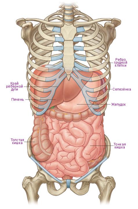 Схема. Органы брюшной полости.