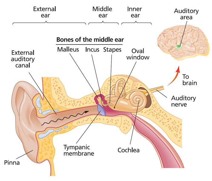 Схема. Орган слуха - объект