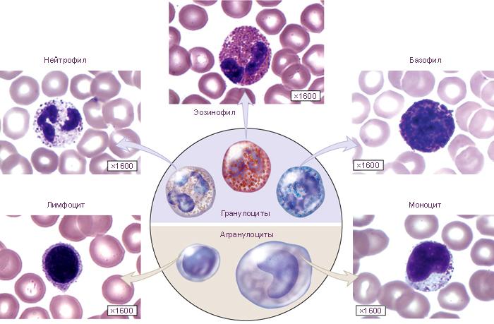 гранулоцит нейтрофильныйй лейкоцит полиморфноядернбый фото