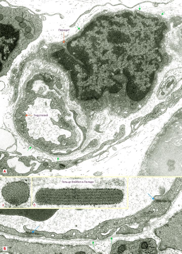 На микрофотографии