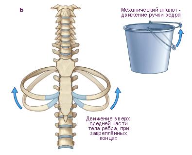 Схема.  Участие скелета грудной клетки в изменении объёма полости грудной клетки во время дыхания.