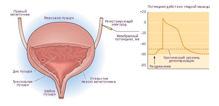 Схема. Анатомия мочеточников и