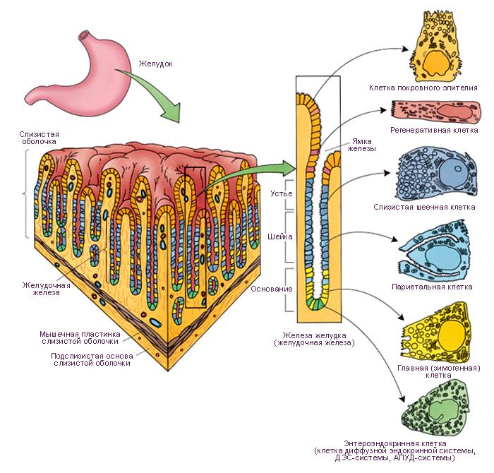 Схема. Клетки дна желудка,