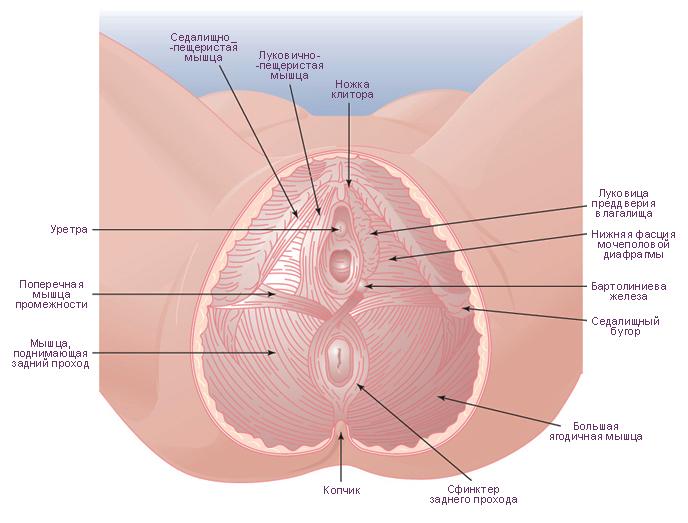 Схема. Мышцы женского таза.