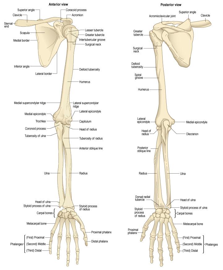 Анатомия суставы верхних конечностей коксартроз тазобедренного сустава сильные боли