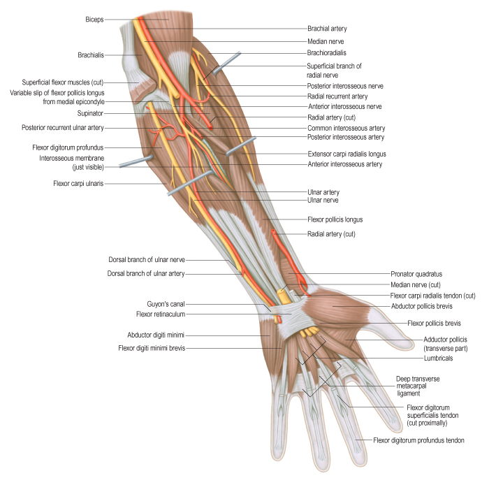 Posterior Interosseous Nerve Anatomy Image collections - human body ...