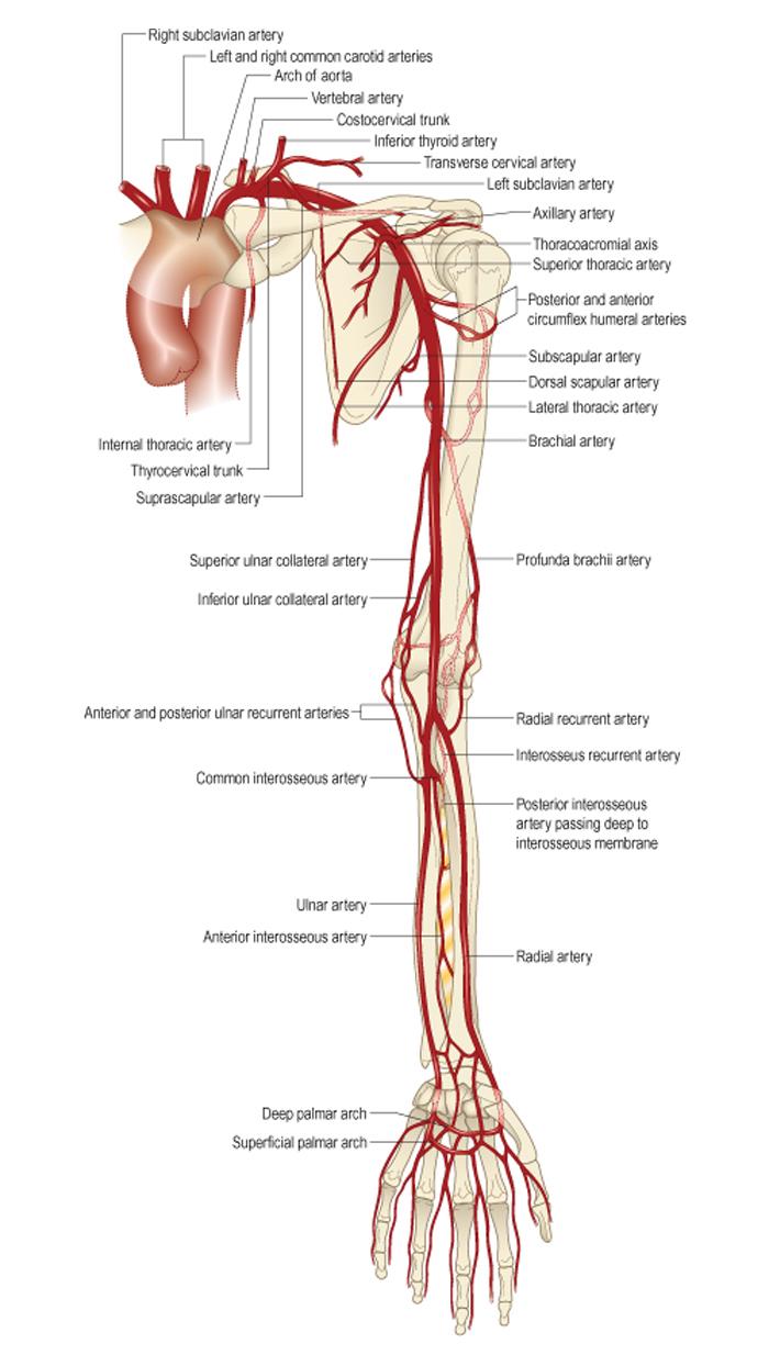 Кровоснабжение суставов верхней конечности после эко болят суставы