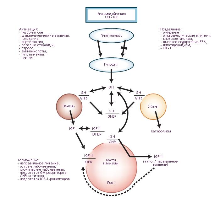 Взаимодействие гормона роста с