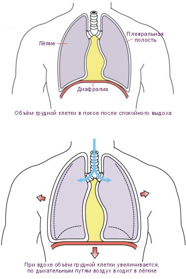 Увеличить грудную клетку домашних условиях бесплатно