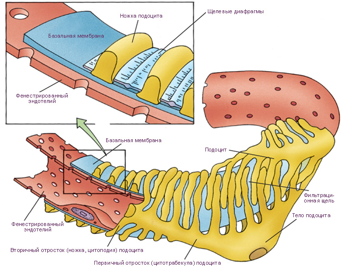 Мембрана базальная фото