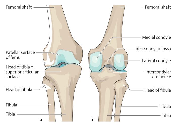 Фаланговый сустав антропология есть ли альтернатива эндопротезированию коленного сустава