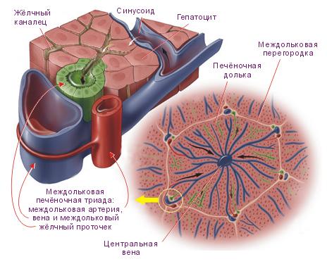 Схема. Кровеносные сосуды и