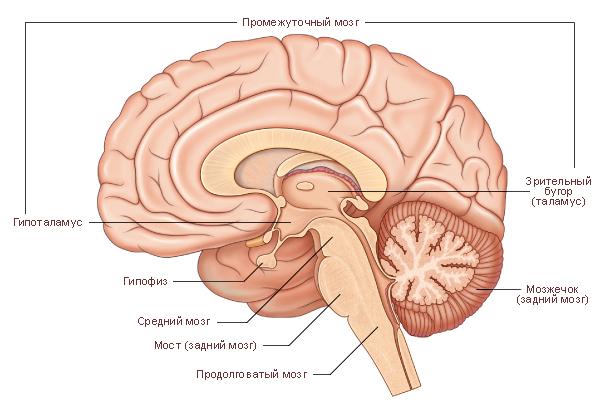 Черепно-мозговые нервы.