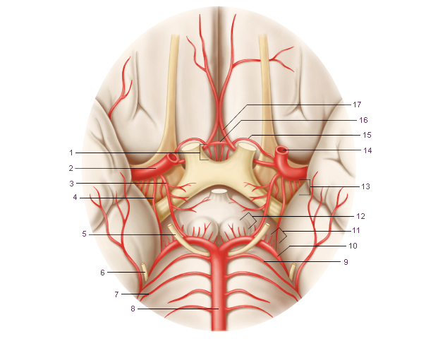 Схема 3. Артериальный (ви́ллизиев круг) круг основания большого мозга.  Модификация: Gray H., (1821–1865)...