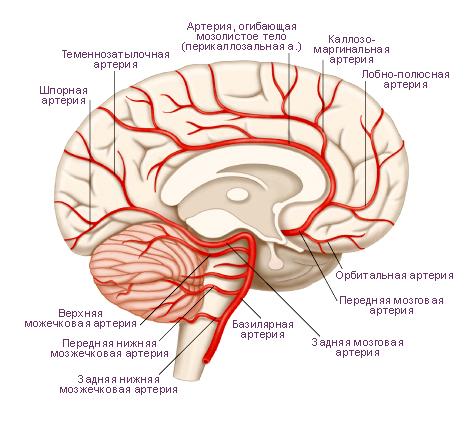 Схема.  Главные артерии головного мозга.  Медиальная поверхность левого полушария большого мозга.