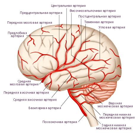 артерии головного мозга.