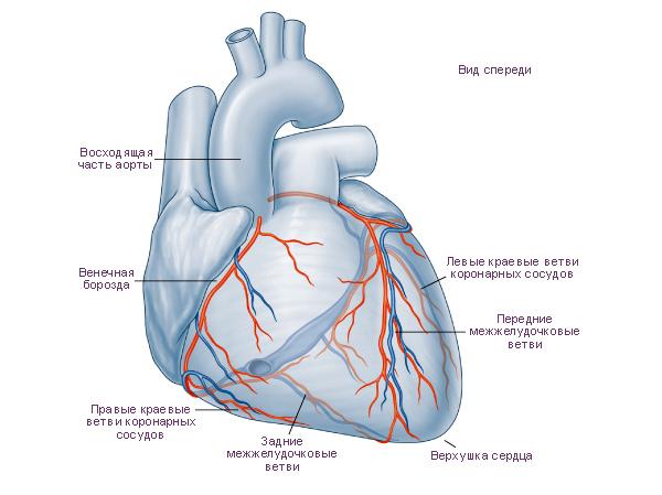 Схема. Сердце, вид сверху,