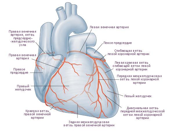 Схема. Сердце, вид спереди.