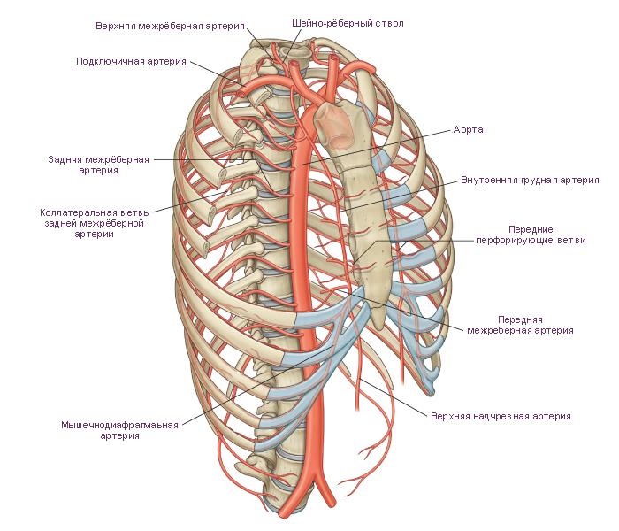 Схема. Артерии стенки грудной