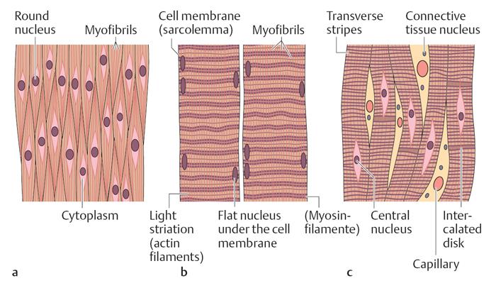 Схема. Мышечная ткань.