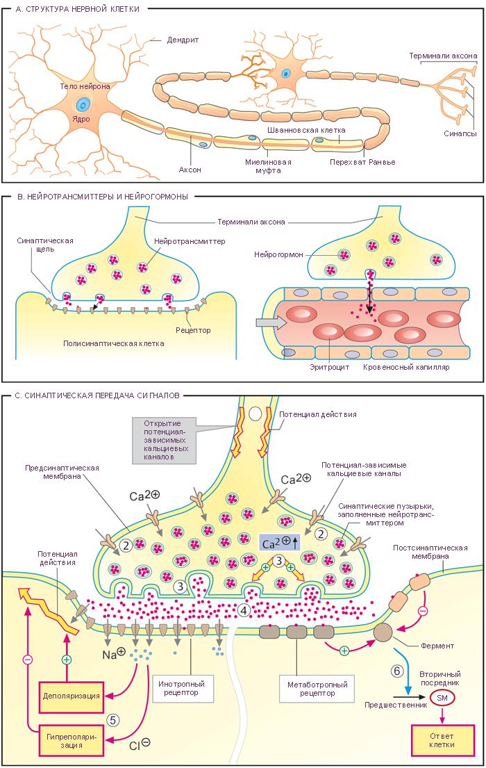 Схема. Структура нейрона.