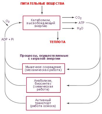 Использование энергии АТФ для