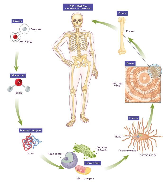 Система Нейро-Эндокринная