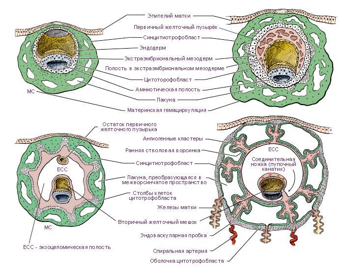 Цитотрофобласт