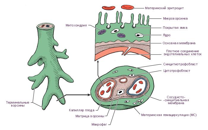 Что такое плацента и как она выглядит