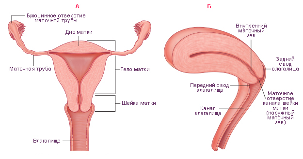 Шейка матки при беременности - норма, прогнозы Я, ты и все вокруг