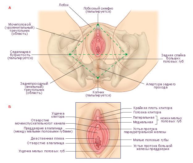 Смотреть гинеталии женщин фото фото 725-15