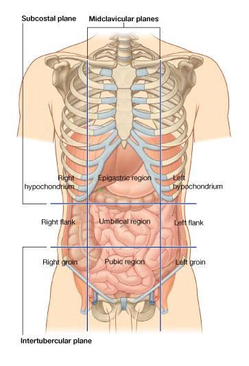 Анатомия человека: Литература.  Иллюстрации.  Схема.  Карта областей поверхности живота.