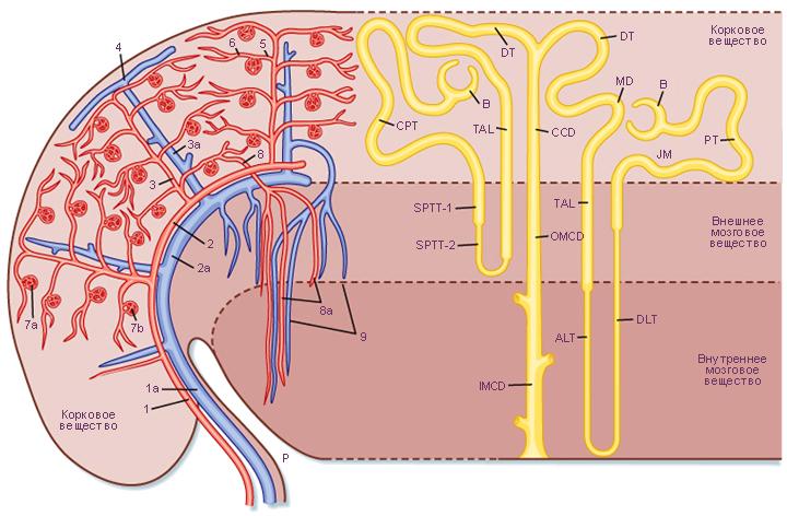 Кровеносные сосуды почки