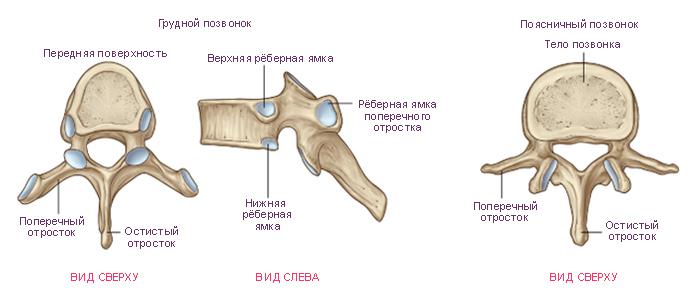 См.: Анатомия человека: