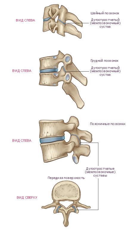 Суставы позвоночника анатомия объем движений в тазобедренном суставе у детей