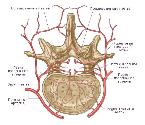 Дуги позвонков и спинной мозг