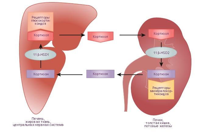 Схема.  Роль гидроксистероидных дегидрогеназ в управлении синтезом и секрецией биоактивных глюкокортикоидов.