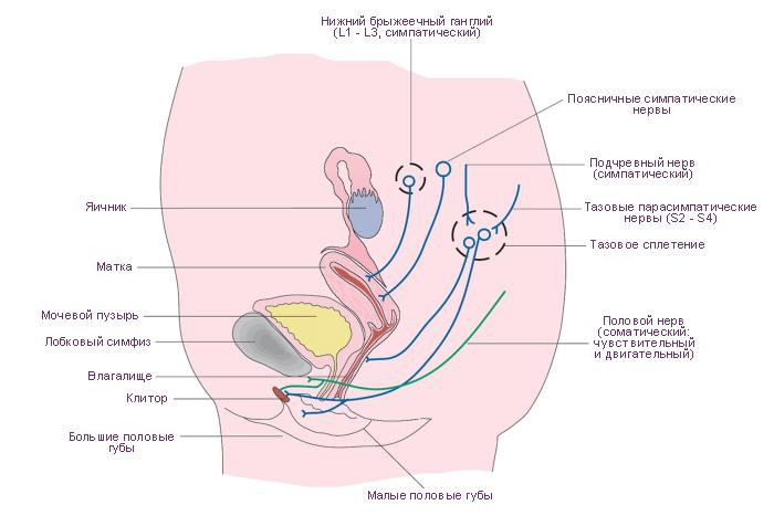 Схема. Cистема репродукции