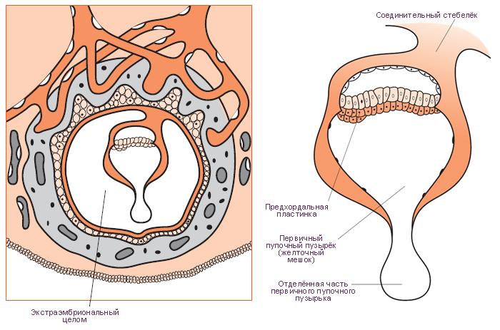 Диск Эмбриональный фото