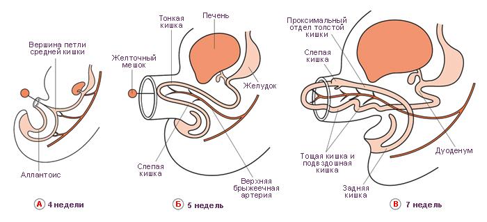 Схема. Эмбриональное развитие