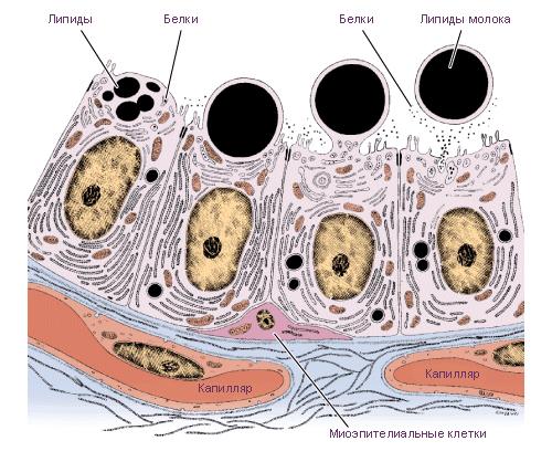 долек молочной железы