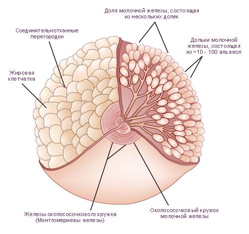Молочная железа Строение, развитие и функции