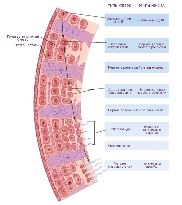 Клетки Лейдига