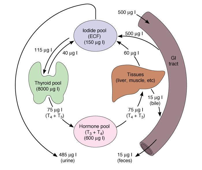 Схема. Метаболизм иода