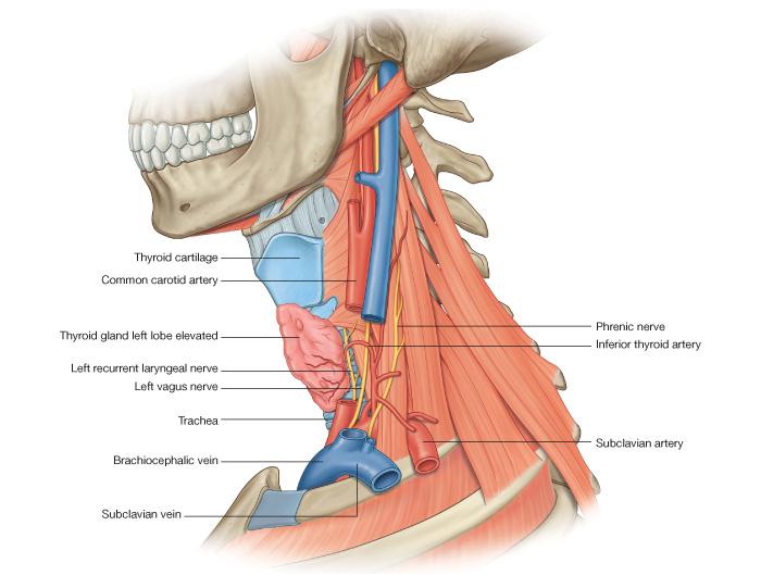 Нервы основания шеи.