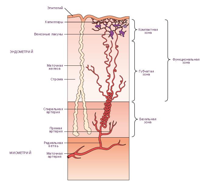 эндометрия в фазу секреции